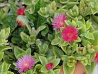 Aptenia_cordifolia