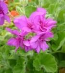 P.Cucullatum_subsp.Cucullatum