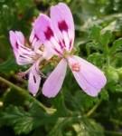 P.Quercifolium